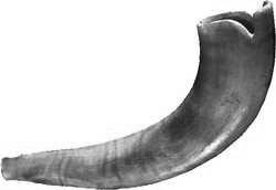 Ram's Horn Shofar